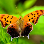 butterfly_DSC_2238.jpg